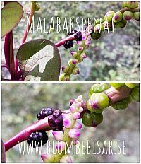 Malabarspenatfröer och blommor