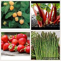 Rabarber, lavendel, hösthallon mm Värmdö
