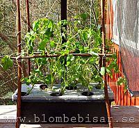 Aquaponisk odling tomater