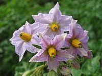 Gåta: vet ni vad detta är för blomma?