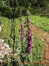 Digitalis - Fingerborgsblomma