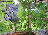 Vindruvs kärnor - zilga