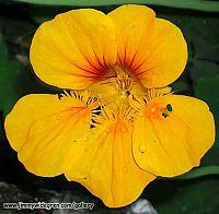 Blomster Krasse
